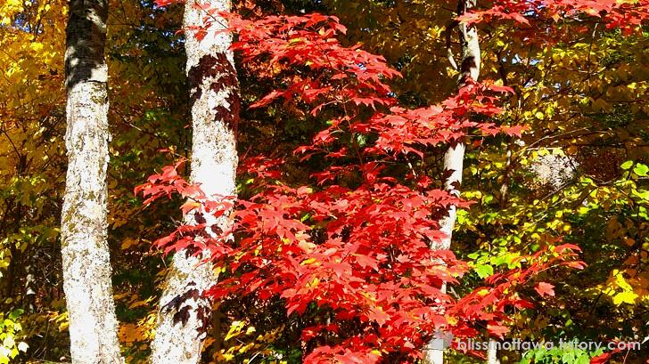 빨간 단풍잎