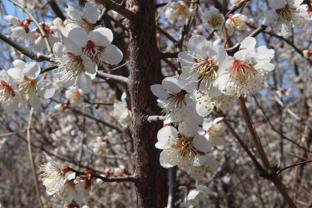 상위마을 매화꽃