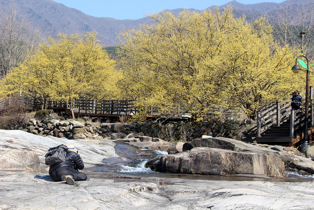 반곡마을 산수유꽃 사진사
