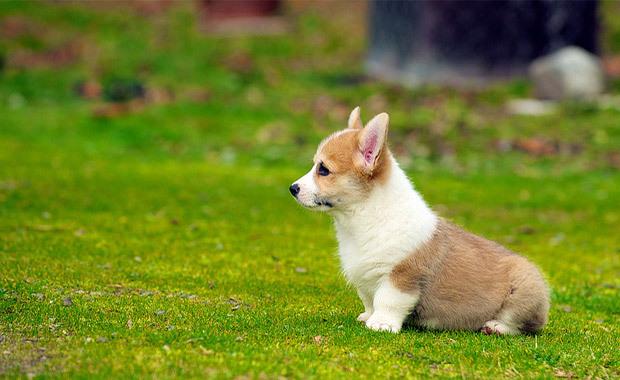 Small Dog Breeders Melbourne