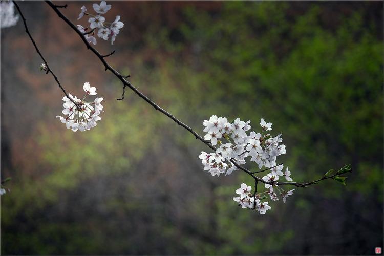 [삼성NX500] 벚꽃