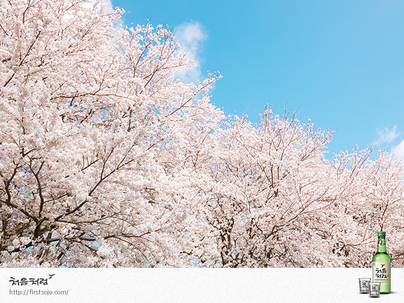 여의도 벚꽃축제