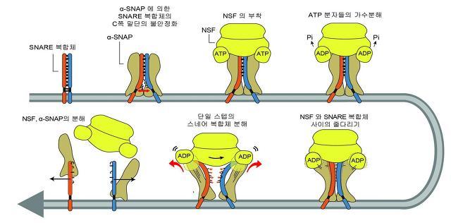 다양한 단분자 생물물리 기법을 이용한 NSF/α-SNAP 에 의한 SNARE 복합체 분해 연구. NSF가 SNARE 복합체를 풀어내는 모델.