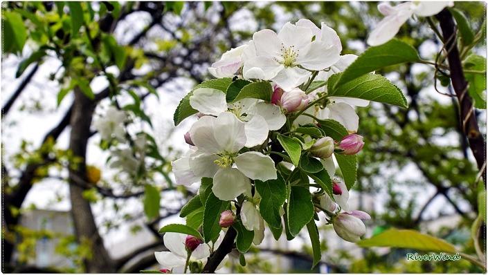 꽃 사과나무 꽃