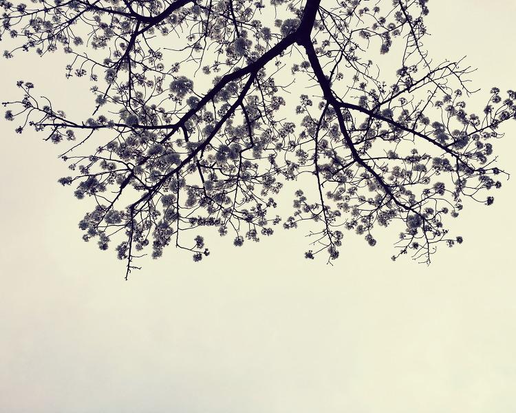 흐린 하늘 위에 벚꽃편지를 쓰다