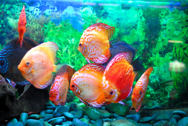Free Stock Photo JPG file The goldfish in the aquarium Stock Photo