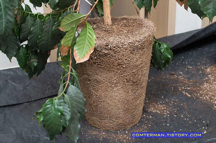 커피나무 뿌리 분갈이