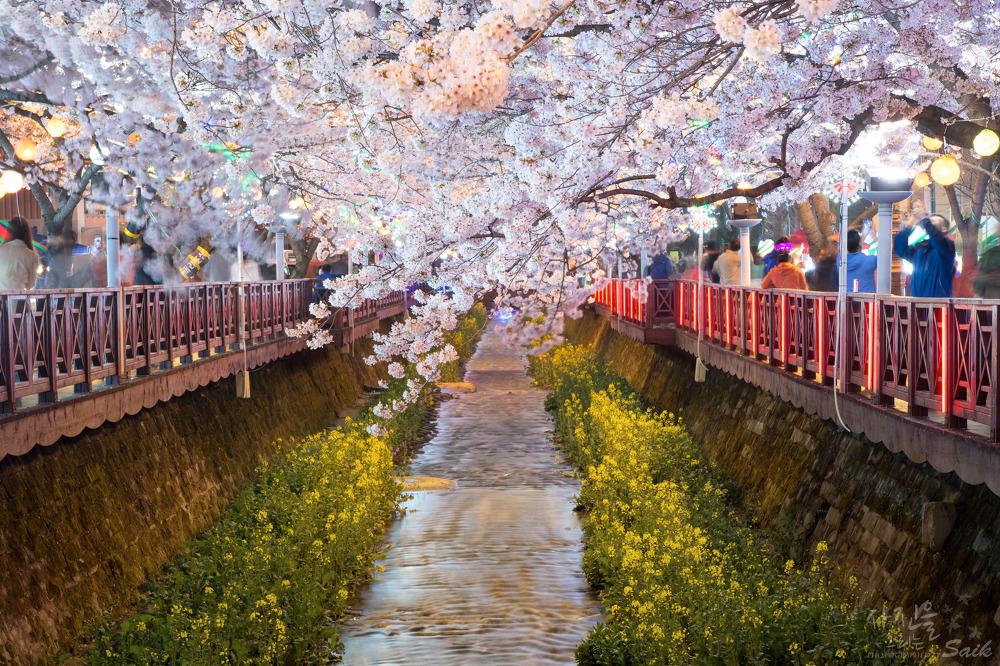 2014 벚꽃 #2. 진해 여좌천의 벚꽃 야경