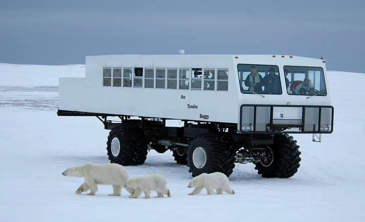 캐나다 북극곰 투어입니다