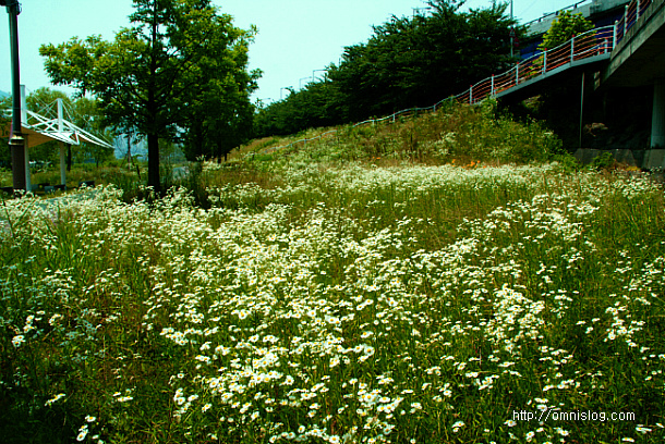 여름산하의 약용 들꽃 -개망초