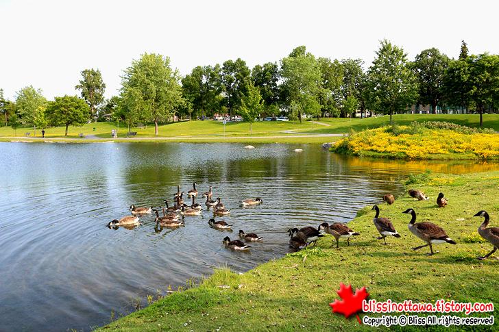 캐나다 오타와 니피언 서쪽 공원 캐나다구스 기러기떼