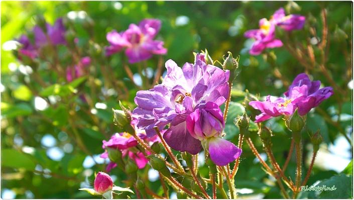 독특한장미꽃 바일헨블라우