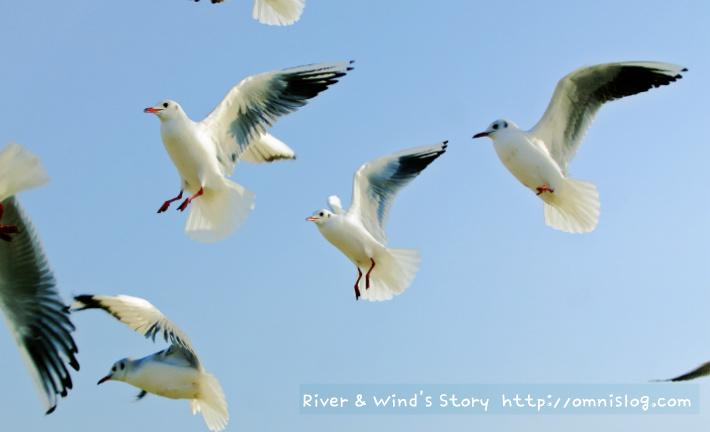 Seagull,  Sea gul
