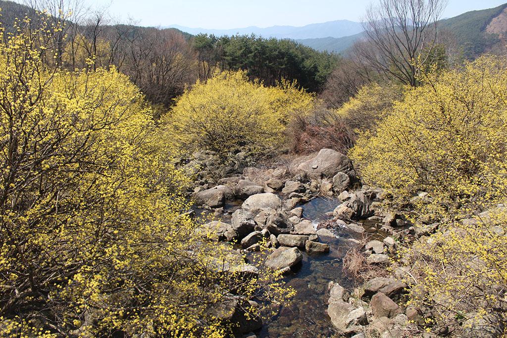 상위마을 계곡 산수유꽃