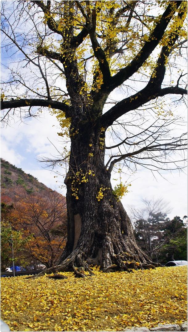 보호수 부산 청룡동 은행나무