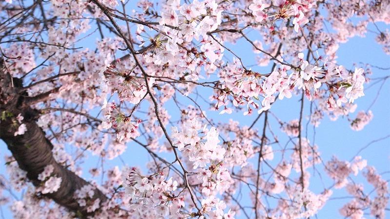사진: 두 그루의 벚나무가 마치 한 그루인 것처럼 붙어서 자랐다고 한다.