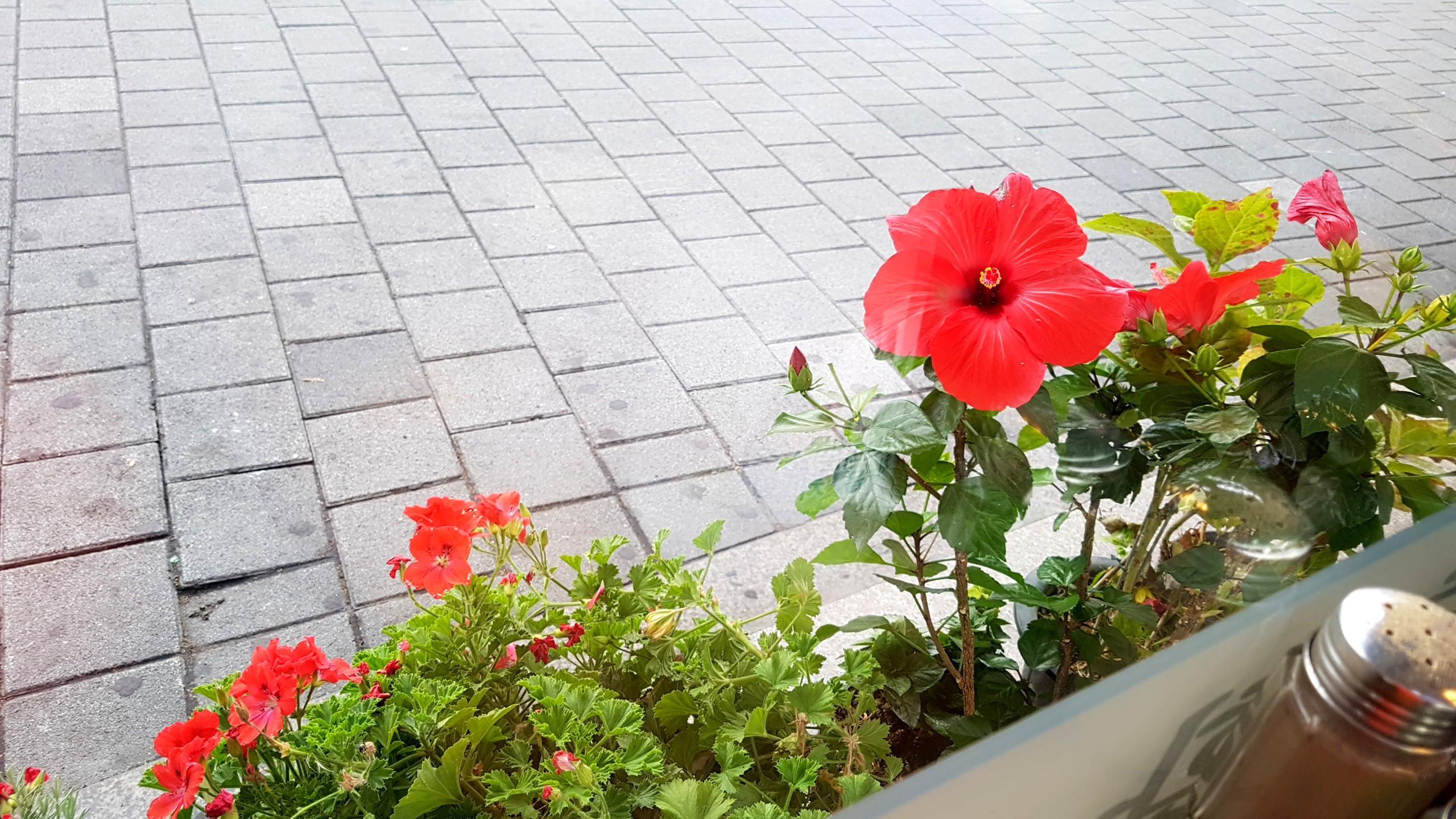 """식당 앞 """"하와이 무궁화""""(히비스커스)"""
