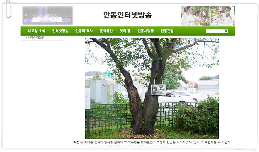 사진: 안동역 벚나무의 아래를 보면 처음엔 두 그루의 나무였다는 것을 알 수 있다.