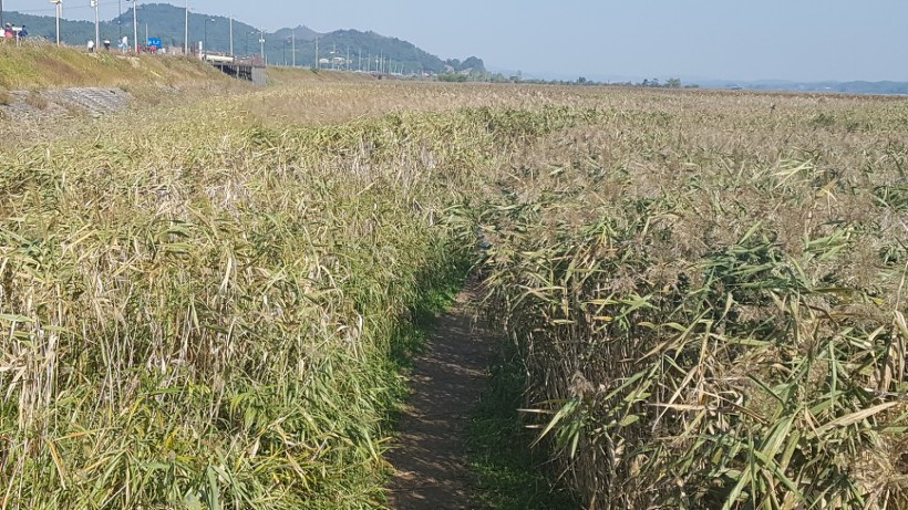 신성리 갈대밭