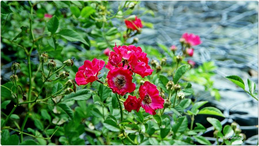 붉은 찔레꽃 Rosa multiflora
