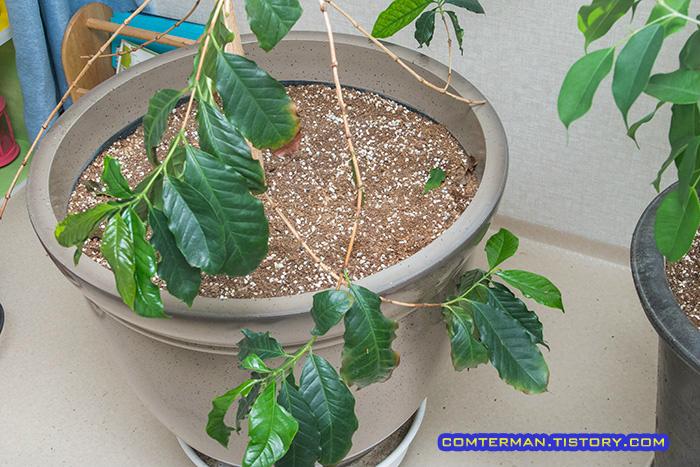 코스트코 대형화분 커피나무
