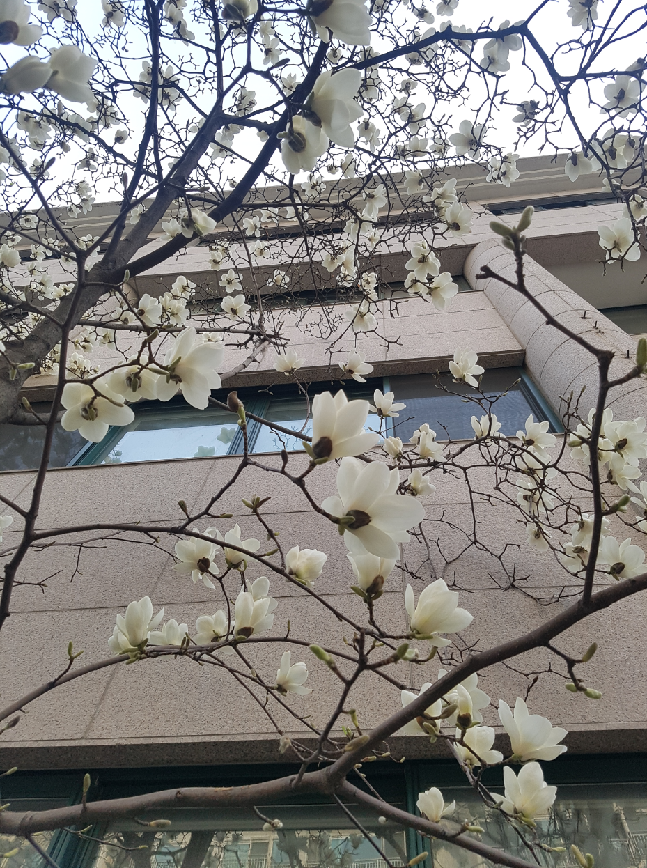목련, 벚꽃 그리고 봄