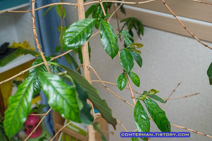 커피나무 새 잎